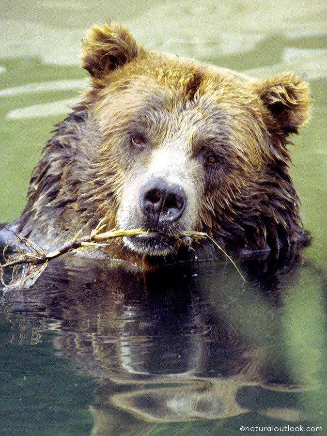 Naturaloutlook_Grizzly_IMG