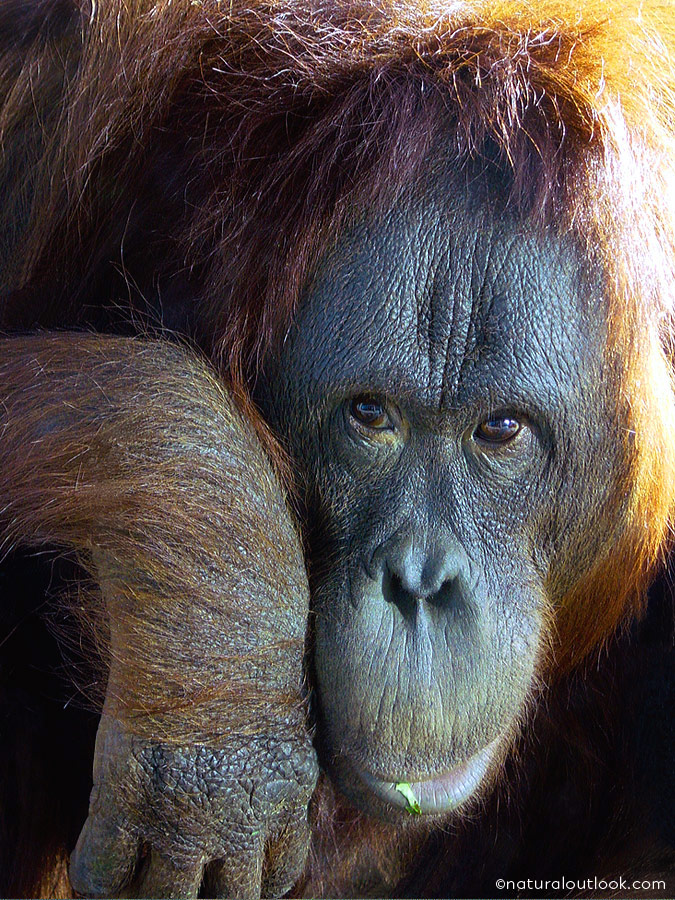 Naturaloutlook_Orangutan_IMG