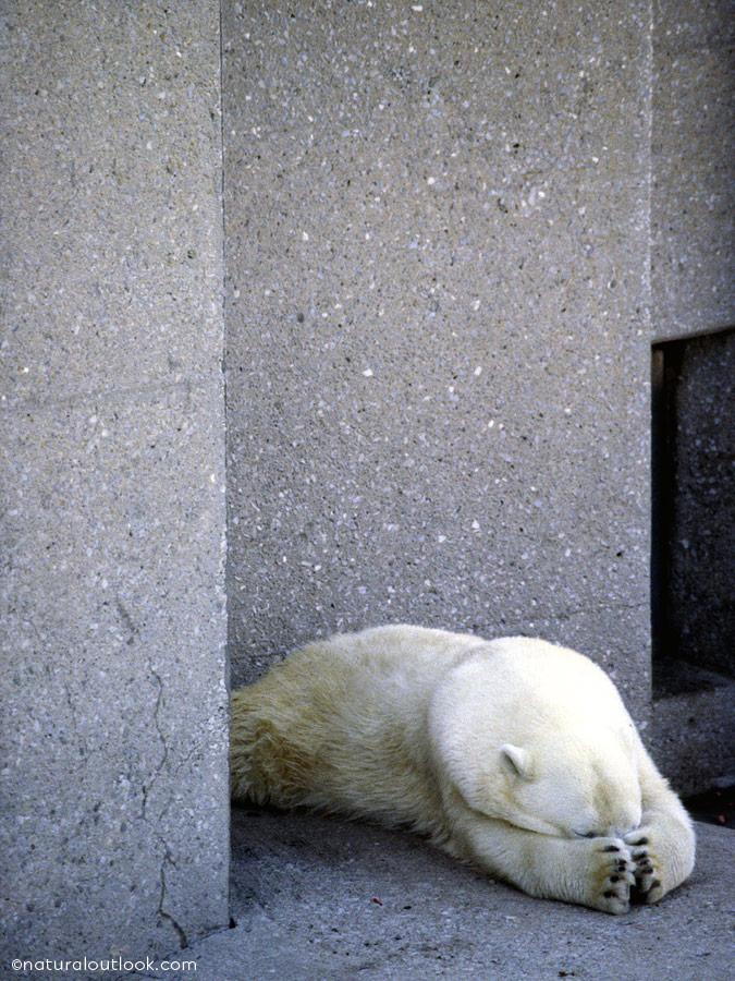 Naturaloutlook_Polarbear_IMG