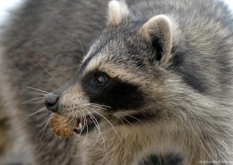Naturaloutlook_Racoon2_IMG