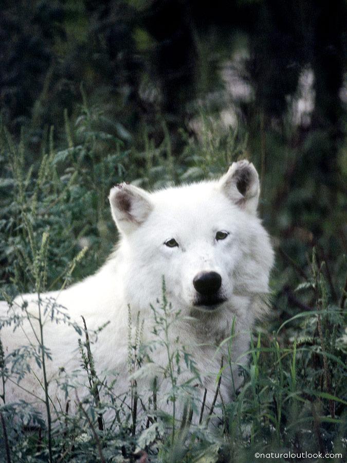 Naturaloutlook_Arcticwolf_IMG