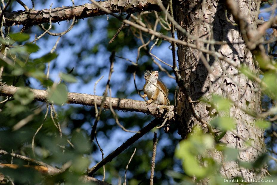 Naturaloutlook_Redsquirrel_IMG